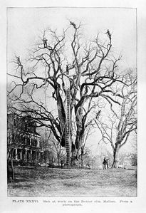 old time tree work
