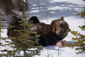 famed Grizzly Bear Boo rolls his way into Spring