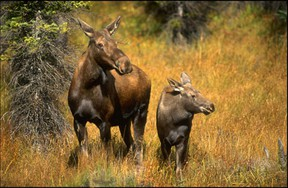 A moose and its baby at the Cochrane Ecological Institute. It is offering up Christmas trees for a donation this year.