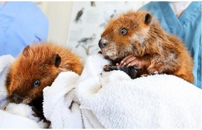 Wildlife technicians Ian Langill and Ross Watson hold baby beavers Aspen and Birch which were rescued from Bow River flood waters and taken to the Calgary Wildlife Rehabilitation Society.