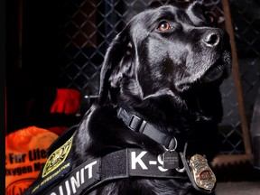 Honey, a 4-year-old Black Labrador Retriever is an accelerant detection canine with the Calgary Fire Department.