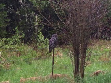 """Kirsti Pickard shared this photo with us on Facebook. """"I see great gray owls all the time.. Really cool birds."""""""