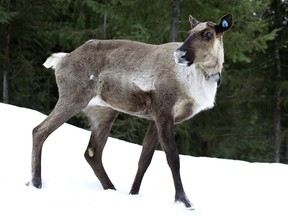 A caribou in the maternity pen.