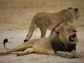 """This handout picture taken on October 21, 2012 and released on July 28, 2015 by the Zimbabwe National Parks agency shows a much-loved Zimbabwean lion called """"Cecil"""" which was killed by an American tourist on a hunt using a bow and arrow."""