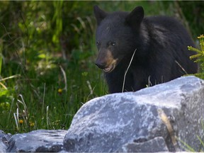 A young black bear cub munches on dandelions along the highway.