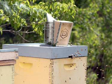 Eliese Watson inserts her bee smoker into a hive. Smoke interferes with the bees' pheromone communication system, calming them and making them less likely to attack when