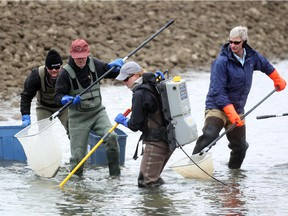 Trout Unlimited provincial biologist Lesley Peterson, centre, uses an electrofisher probe to help volunteers capture fish during a fish rescue at an irrigation canal  in southern Alberta in October 2013.