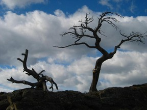 The Burmis Tree is a landmark in Crowsnest Pass and some feel it is a symbol of the region's enduring spirit.
