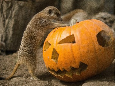 Aryn Toombs/Calgary Herald CALGARY, AB -- October 31, 2015 -- A meerkat attempts to pry open the top of a pumpkin full of crickets at the Calgary Zoo in Calgary on Saturday, Oct. 31, 2015. (Aryn Toombs/Calgary Herald) (For City story by Clara Ho) 00069768A SLUG: 1031 Zoo pumpkin feast - Zoo