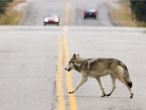 The alpha female in the Bow Valley wolf pack was put down in June after becoming aggressive with campers.