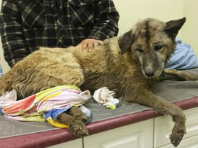 Koda, shown in this handout image, is one lucky dog. He was missing for 13 days and found in a culvert.