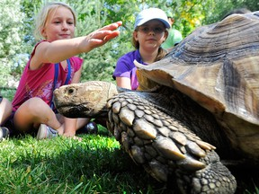 A sulcata tortoise, literally one of the big draws of the Calgary Reptile Expo this weekend. It's the third-largest tortoise breed in the world.