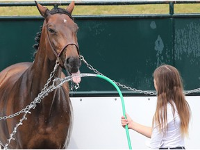 Anya Bereznicki gives horse Zoey a drink after a cooling shower at the Spruce Meadows North American on Saturday July 8, 2017.
