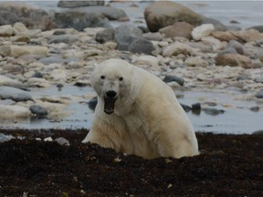 In October and November, polar bears migrate to the Hudson Bay eager to get out on the ice and feed. Photo, Debbie Olsen