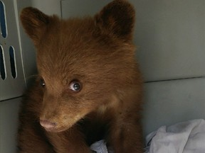 The first abandoned black bear cub to go to an Alberta wildlife rehab facility under a new policy.