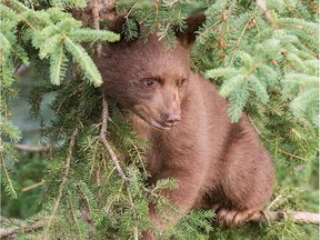 The Cochrane Ecological Institute has partnered with a filmmaker to document the rehabilitation of a five-month-old black bear cub named Charlie.
