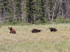 Three black bear cubs found in a Vermilion Lakes washroom in April 2017 have been returned to Banff National Park. Photo by Parks Canada