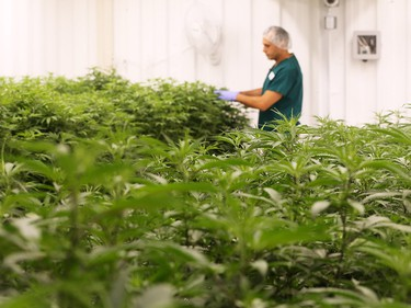 Master grower Bill Vasilakakos checks cannabis plants growing at Boaz Crafting Cannabis in Calgary on Wednesday September 26, 2018. Gavin Young/Postmedia