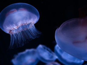 This picture taken on January 16, 2019 shows jellyfish in a tank during the opening of the new Jellyfish section of the Aquarium of Paris.
