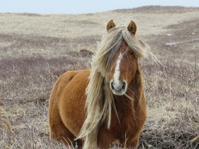 A herd stallion named Brass is seen on Sable Island, N.S. in this undated handout photo. Researchers studying the carcasses of Sable Island's fabled wild horses have discovered many had unusual levels of parasites, suggesting they are tougher than most horses, even as many died of starvation.