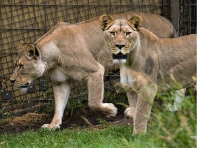 African lionesses Sabi and Mali are shown in a photo released to media by the Calgary Zoo on Monday, January 14, 2019.