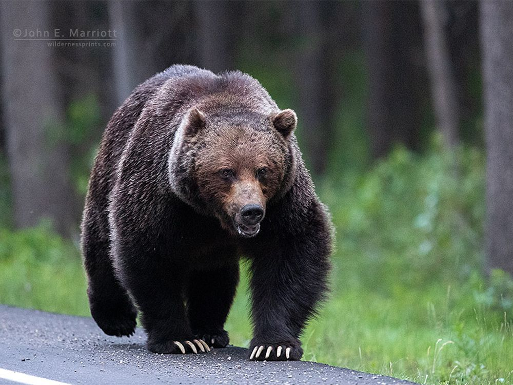 A large grizzly bear given the name The Boss is shown near Banff National Park, Alberta, Canada, west of Calgary.