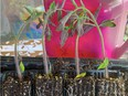 How to care for tomatoes plants started from seed is a popular gardening topic. Courtesy, Deborah Maier