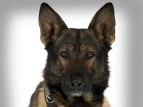 Jester the police dog is shown in a Calgary Police Service handout photo. Calgary police say one of their dogs with the K9 unit that was stabbed in the line of duty is doing better. THE CANADIAN PRESS/HO-Calgary Police Service