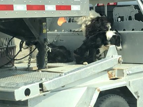 Postmedia Calgary. Rick Cuzzetto and his wife were driving south on Deerfoot Trail on Wednesday afternoon when they saw a truck pulling a livestock trailer with three dogs chained to the flatbed of the truck. Photo courtesy of Rick Cuzzetto.