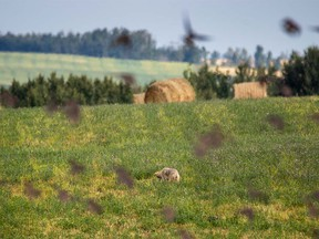 A flock of starlings takes off in front of a hunting coyote east of Cremona on Thursday, September 14, 2017. Mike Drew/Postmedia