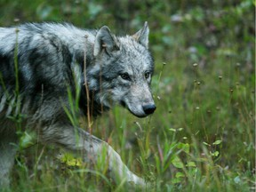 File image of a wolf in Banff National Park.