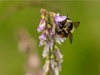 A bumblebee slurps nectar from a bird vetch blossom next to Fallen Timber Creek south of Bergen, Ab., on Tuesday, July 30, 2019. Mike Drew/Postmedia