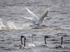 Swans look back as others take off at a pond south of  Clear Lake east of Stavely, Ab., on Wednesday, October 16, 2019. The dark birds are this yearÕs young. Mike Drew/Postmedia