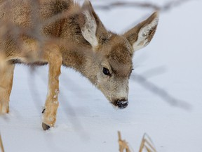 A young mule deer makes its way through the snow by Lake Newell south of Brooks, Ab., on Tuesday, February 18, 2020. Mike Drew/Postmedia