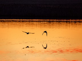 Ducks fly over a pond at sunrise east of Calgary, Ab., on Monday, May 11, 2020.