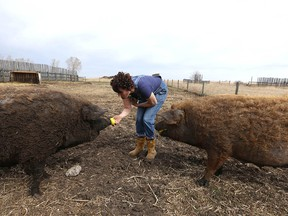 Christina Stender feeds apples to some of the approx 42 Mangalitsa pigs at Eh Farms near Strathmore, Ab, east of Calgary on Thursday, April 30, 2020. The family raises Mangalitsa pigs as well as chickens, and geese. Jim Wells/Postmedia