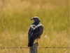 Young SwainsonÕs hawk that had been feeding on the hundreds of grasshoppers warming up on a road west of Vulcan, Ab., on Tuesday, August 4, 2020. Mike Drew/Postmedia