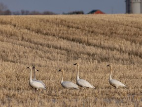Tundra swan coming from their winter home along the Gulf of Mexico rest in a field near Carseland, Ab., on Monday, March 8, 2021.