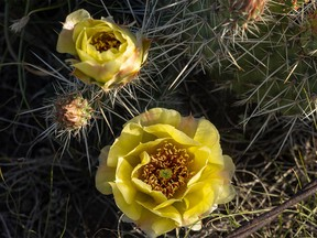 Prickly pear cactus blossoms near the Finnegan Ferry in the Red Deer River valley east of Gem, Ab., on Monday, June 21, 2021.