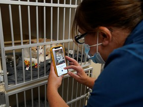 Dr. Liz Ruelle uses a new app called Tably that reads cat's faces and helps her monitor a cat's health at the Wild Rose Cat clinic in Calgary, Alberta, Canada, July 14, 2021.