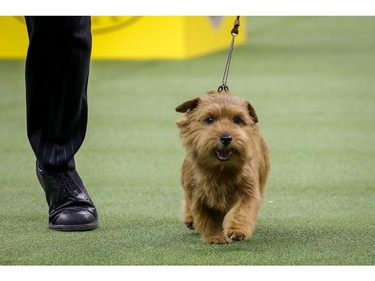 Winston, a Norfolk Terrier and winner of the terrier group, competes on the final night of the 142nd Westminster Kennel Club Dog Show at The Piers on February 13, 2018 in New York City. The show is scheduled to see 2,882 dogs from all 50 states take part in this year's competition.