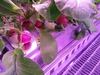 The undated photo provided by the German aerospace center (DLR) shows radish before being harvested in the EDEN-ISS greenhouse at the Neumeyer-Station III on Antarctica. The project without soil but with a closed water cycle, optimized lightning and carbon dioxide levels is a test to become part of the nutrition for astronauts in future moon or Mars missions.   (DLR via AP) ORG XMIT: FOS802