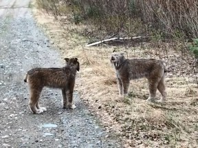 Two lynx square off in northern Ontario.