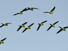 A group of Yellow-chevroned Parakeets (Brotogeris chiriri) overflies the Paraguay river, in Caceres, Brazil, the gateway to the Pantanal, on August 25, 2014.