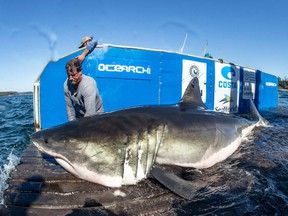 Hal, a 13-foot great white shark found off the coast of N.S. on Saturday, Sept.29, 2018, is shown in a handout photo.