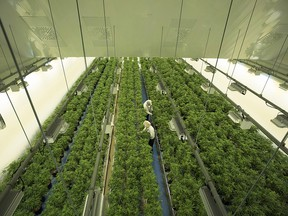 Staff work in a marijuana grow room that can be viewed by at the new visitors centre at Canopy Growths Tweed facility in Smiths Falls, Ontario on Thursday, Aug. 23, 2018. (THE CANADIAN PRESS/Sean Kilpatrick)