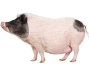 File photo of a pig.