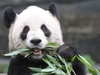 Christmas bank story by Chris Nelson for the Calgary Herald Story advances panda arrival at the Calgary Zoo in 2018 Er Shun, adult female Photo courtesy Toronto Zoo