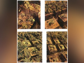 These Thursday, March 7, 2019 evidence photos released by the United States Attorney's Office Central District of California shows illegal marijuana plants in San Bernardino County, Calif. (U.S. Attorney's Office Central District of California via AP)