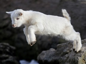 A goat baby jumps from a rock in the Opel zoo in Kronberg near Frankfurt, Germany, on a sunny Wednesday, March 21, 2018. (AP Photo/Michael Probst)